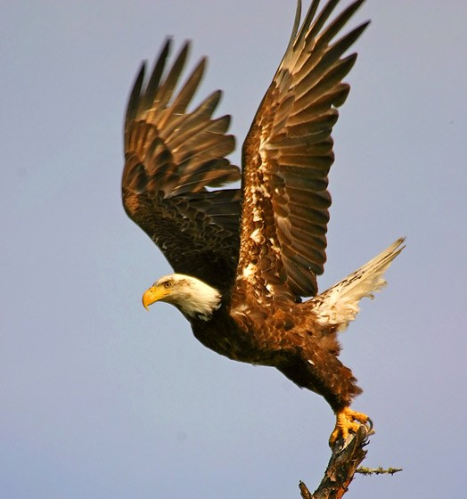 Flying Eagle Wallpaper American Eagle Day Wishes