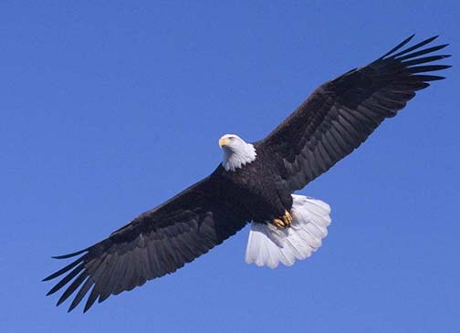 National American Eagle Day Wallpaper Of Eagle