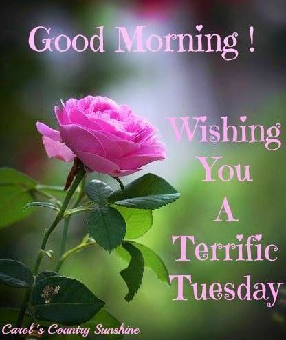 Tuesday Morning Wishes With Pink Rose